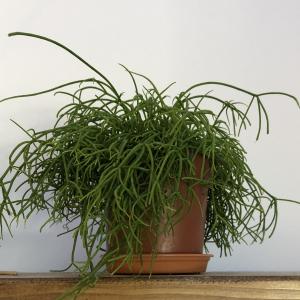 Photo of Mistletoe Cactus