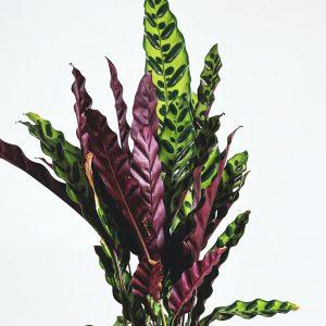 Photo of Rattlesnake Plant