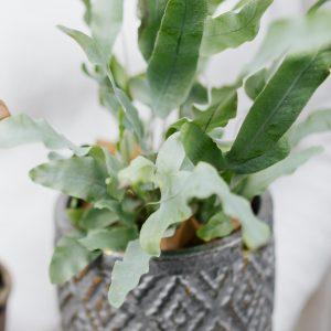 Photo of Bird's Nest Plant